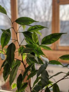 Are indoor plants bad for asthma? ficus plant