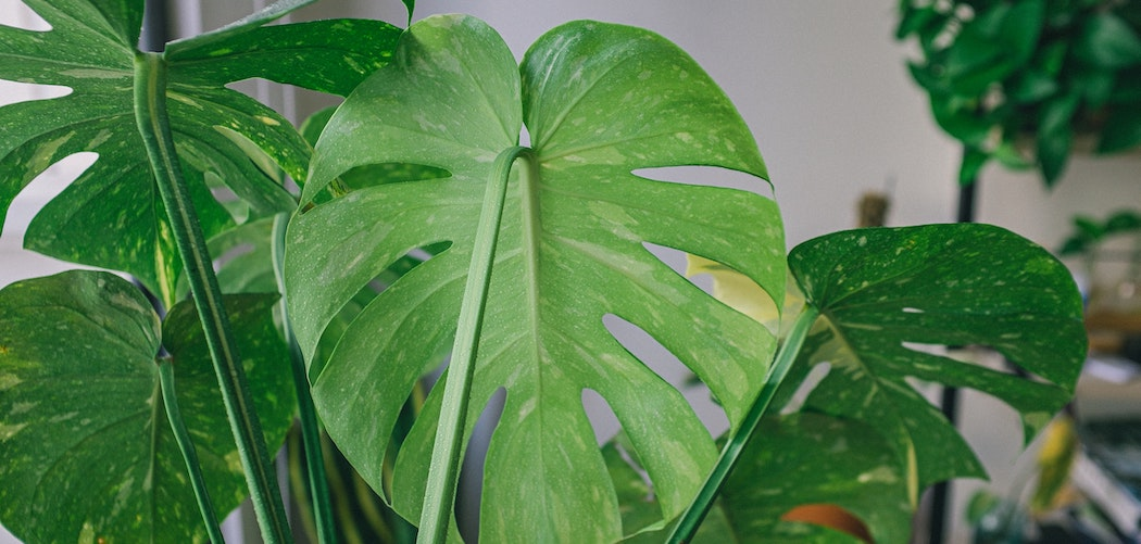 How much oxygen does a plant produce? big green plant leaves
