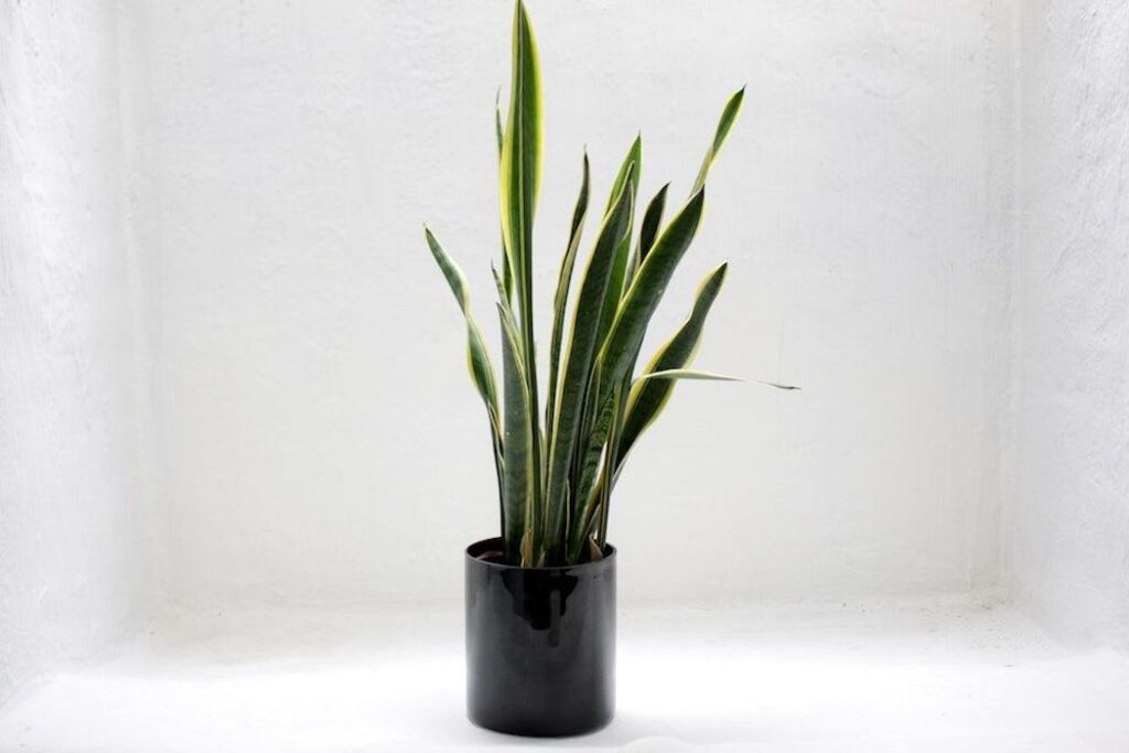 How much oxygen does a plant produce? snake plant sitting alone in room