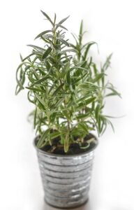 Do houseplants attract roaches? Rosemary plant in pot