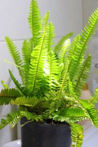How much oxygen does a plant produce? boston fern
