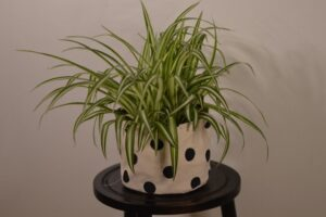 How much oxygen does a plant produce? Spider Plant on table