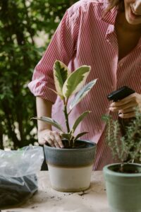 Can I spray houseplants with vinegar? Woman spraying a houseplant placed on a table