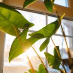 Can plants grow without sunlight? Green leaves in the sun