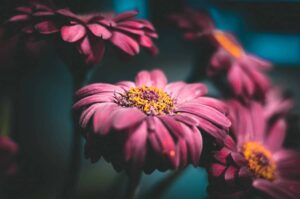 Can plants kill you at night? Gerbera flowers in the dark