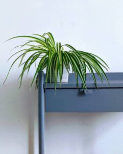 Can plants stay in plastic pots? Spider plant on a side table
