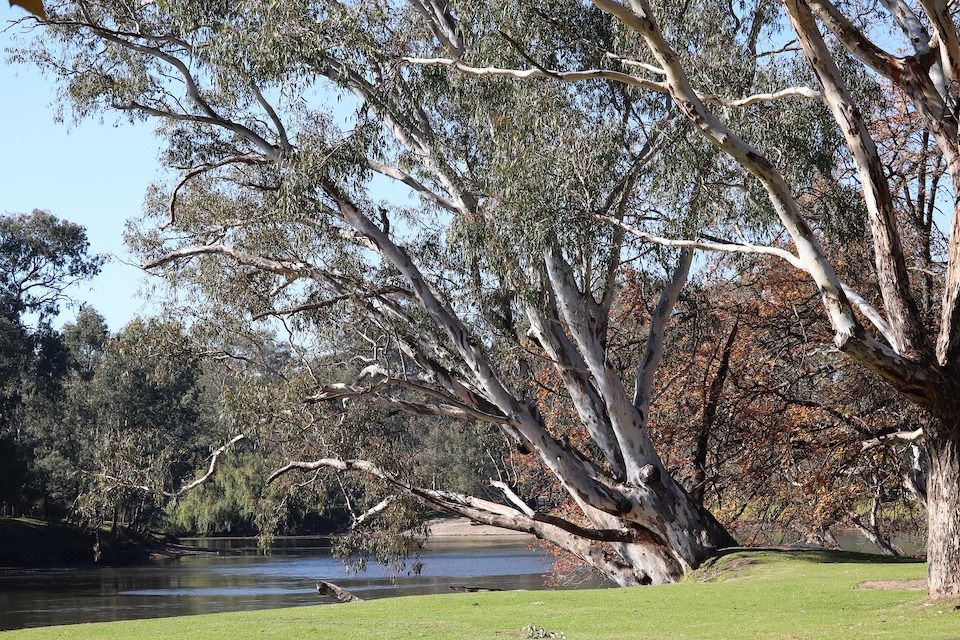 How much oxygen does a plant produce? big eucalyptus tree on water bank