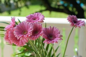 How much oxygen does a plant produce? Pink Gerbera Daisies