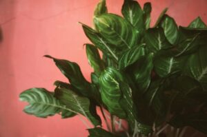 How much oxygen does a plant produce? Chinese Evergreen plant on pink background