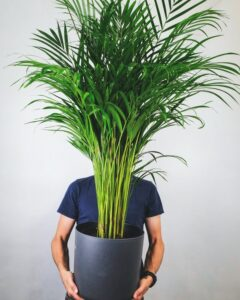 How much oxygen does a plant produce? man holding Areca Palm
