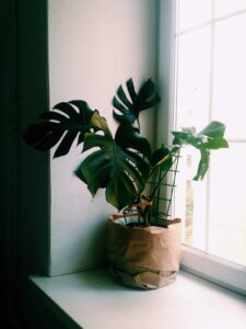 Do Houseplants Like To Be Moved Around? Houseplant sitting in front of a sunny window