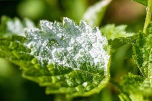 Can houseplants cause black mold? Explained! Leaf of a plant with powdery mildew