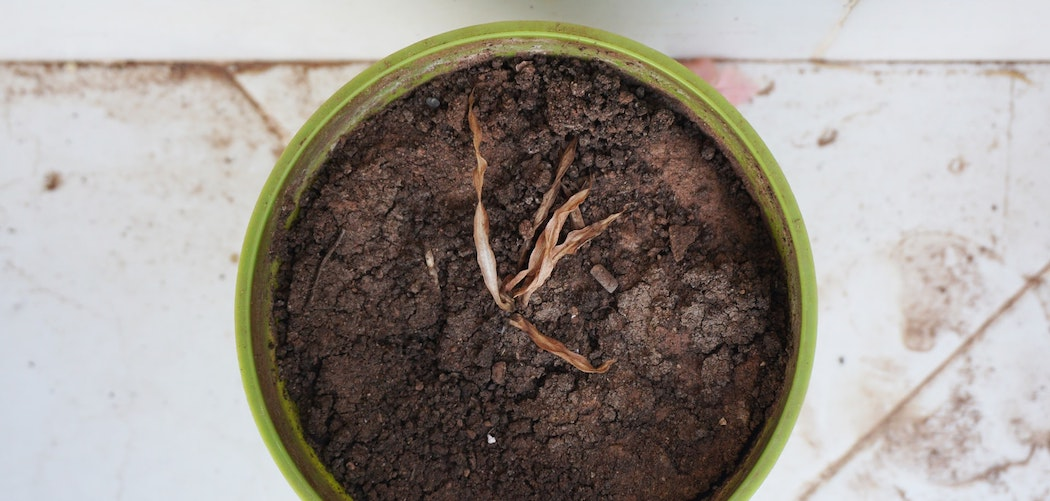 How To Revive A Plant That Dried Out? very dry plant with dry soil in green pot