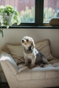 Is Urine Good for Houseplants? dog sitting on couch looking at houseplant at the window