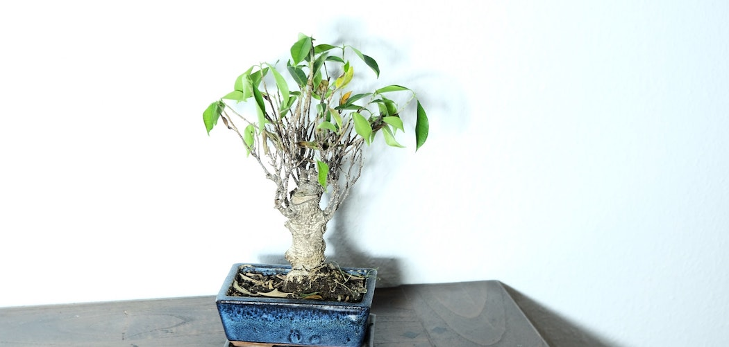 What Happens If A Plant Loses Its Leaves? Bonsai tree in blue pot losing it's leaves