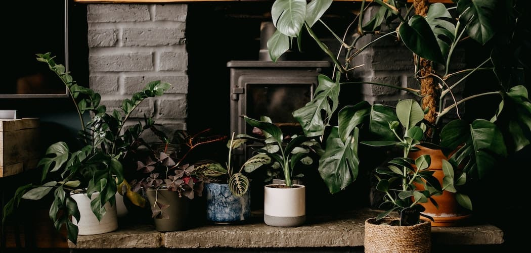 10 Best Large Indoor Plants For Beginners Large indoor plants sitting in the shade in living room