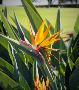 indoor plants with giant leaves - Bird of paradise flower