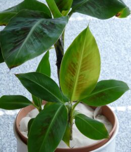 indoor plants with giant leaves - Dwarf banana plant - musa - in a pot