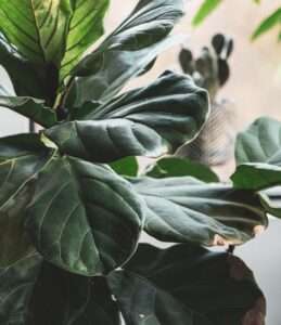 indoor plants with giant leaves - Fiddle leaf fig plant
