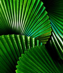 indoor plants with giant leaves - Licuala grandis