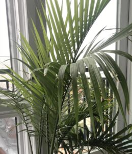indoor plants with giant leaves - Majesty palm