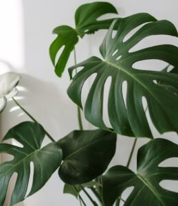 indoor plants with giant leaves - Monstera deliciosa - Swiss cheese plant