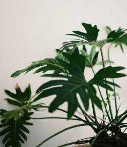 indoor plants with giant leaves - Philodendron Xanadu
