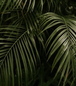 10-indoor-plants-with-giant-leaves-majesty-palm