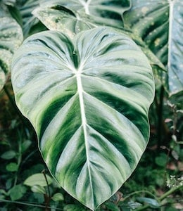 Big Elephant Ear Philodendron (Philodendron giganteum) planted amongst other plants