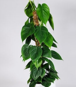 Medium size Heartleaf Philodendron (Philodendron hederaceum) in white pot