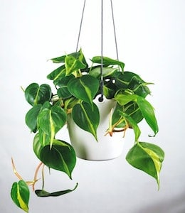 Heartleaf Philodendron (Philodendron scandens) in white hanging pot