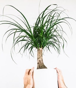 Ponytail Palm (Beaucarnea recurvata) in white pot being held by male hands