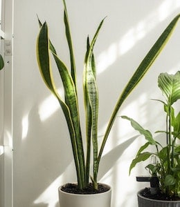 Very tall Snake Plant (Sansevieria trifasciata) sitting in well lit living room